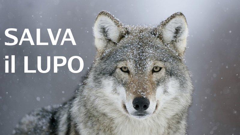 Risultati immagini per lupi