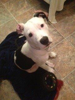 Petition · Tell Houston SPCA to stop killing pit bulls