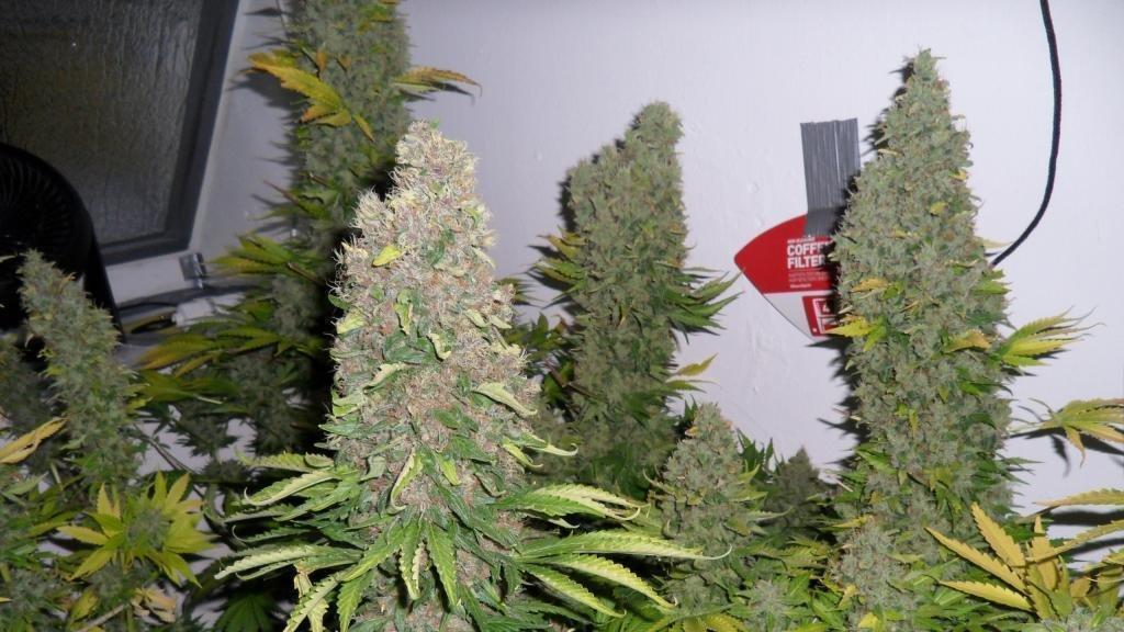 Марихуана легализована в россии тест на марихуану купить аптеки