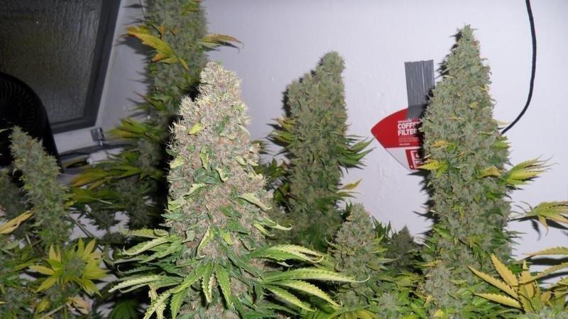 О марихуане в россии обнаружена конопля
