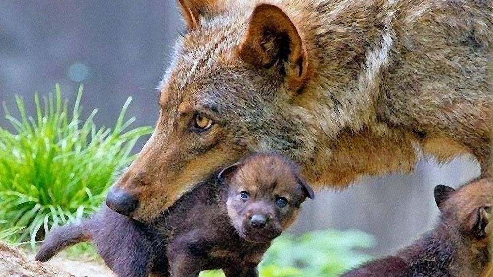 #SosLupo Salviamo i lupi @sbonaccini @glgalletti