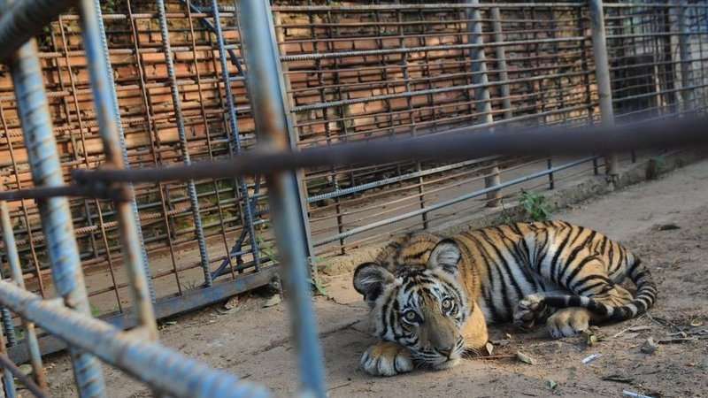 """keeping animals in cages is cruel """"it is cruel to keep animals in cages at zoos"""" marks have not been included for this essay you will need to grade it a copy of our naplan assessment rubric follows the essay it will explain what is needed at each level you will need to read it carefully."""
