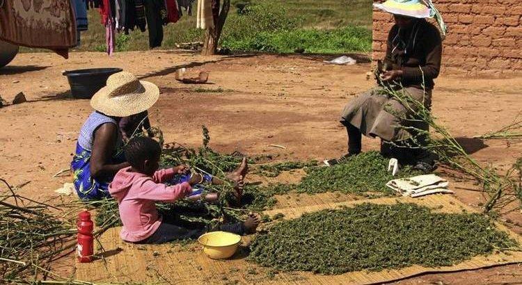 Image result for marijuana kenya