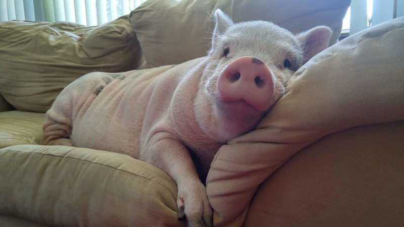 Petition Allow Mini Pigs To Be Kept As Pets In Andover Changeorg