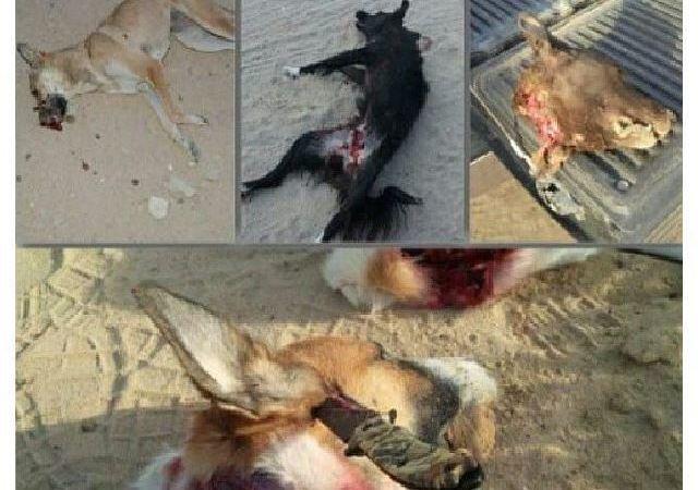 Dogs in Kuwait