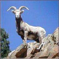 Pledge Speak Out To Save Yosemite S Sierra Nevada Bighorn Sheep Change Org