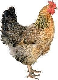 Petition For Backyard Chicken Keeping In Herrin IL