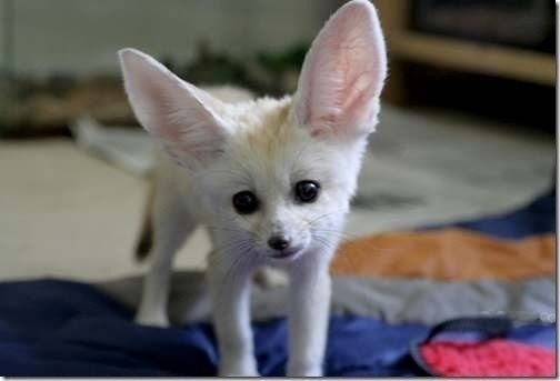 petition · legalize fennec foxes as pets in texas · change org