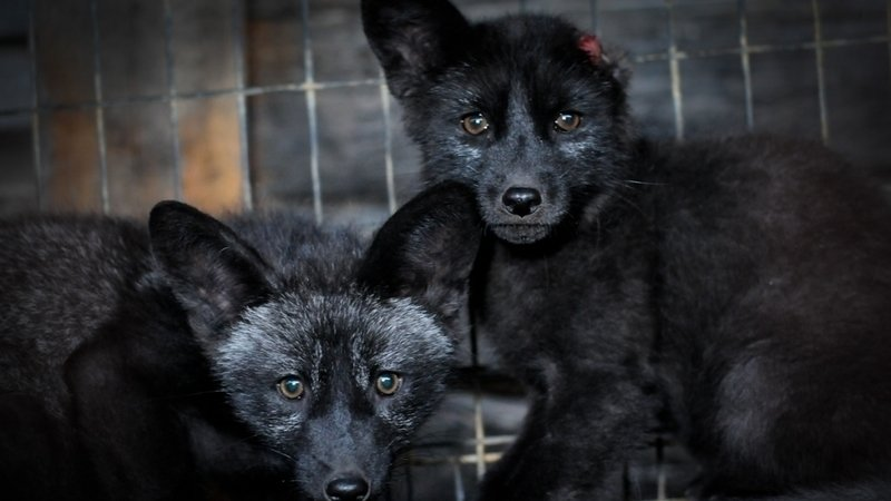 DEMAND Sport Chek Remove Fur From its Shelves