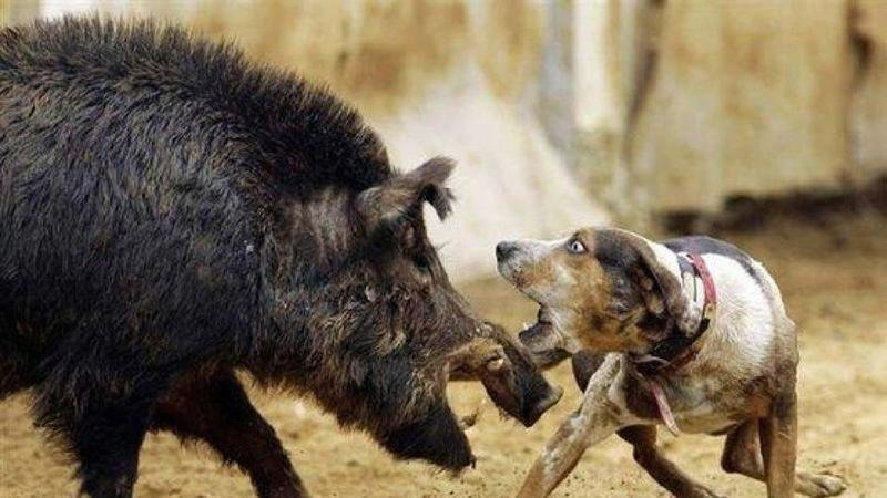 Petition 183 Outlaw Hog Vs Dog Hunting Fighting In The Wild