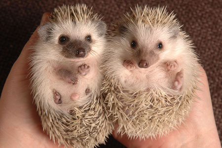 5dcabea8cd97 Petition · Help Legalize Hedgehogs in the State of Pennsylvania ...