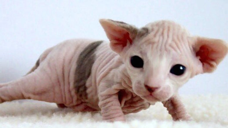 Petition · Sign: Justice for Cats Plucked Bald in 'Hairless