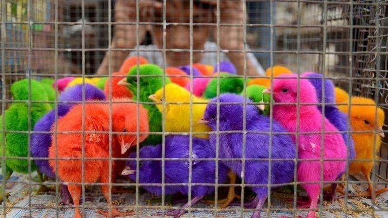 Petition · Prohibir la compra-venta de pollitos pintados de colores en Guadalajara y sus alrededores. · Change.org