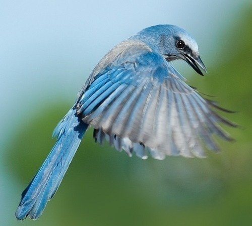 Make The Florida Scrub Jay New State Bird