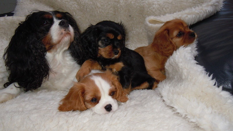 Petition Stop Registerin G Cavalier King Charles Spaniel Puppies Unless Their Parents Are Mri Scanned And Heart Tested Change Org