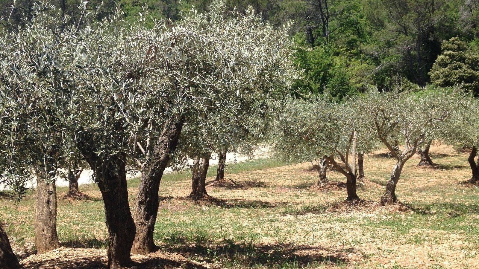 Il Cultive L Olivier topic · peste de l'olivier · change