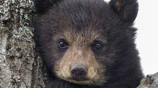 Petition president trump save the hibernating bears and for Did congress approve killing hibernating bears