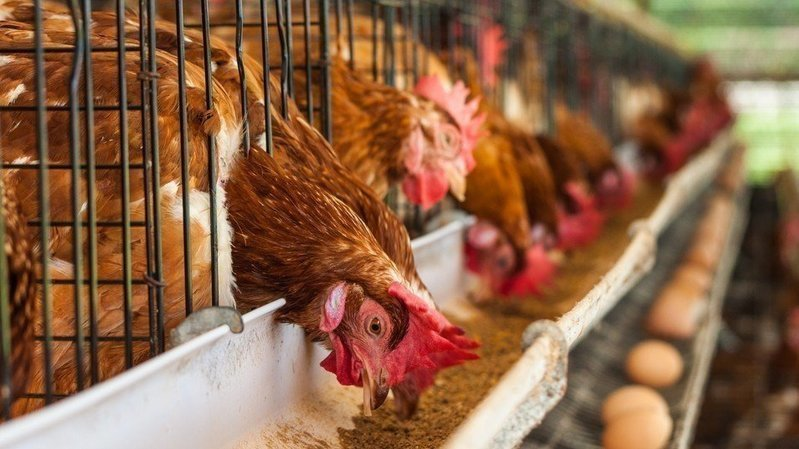 Petition 183 Rspca Ban Battery Cages And Stop Caged Eggs