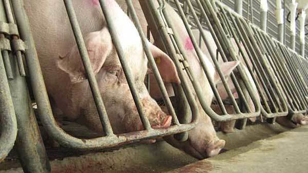 factory farming cruel or not