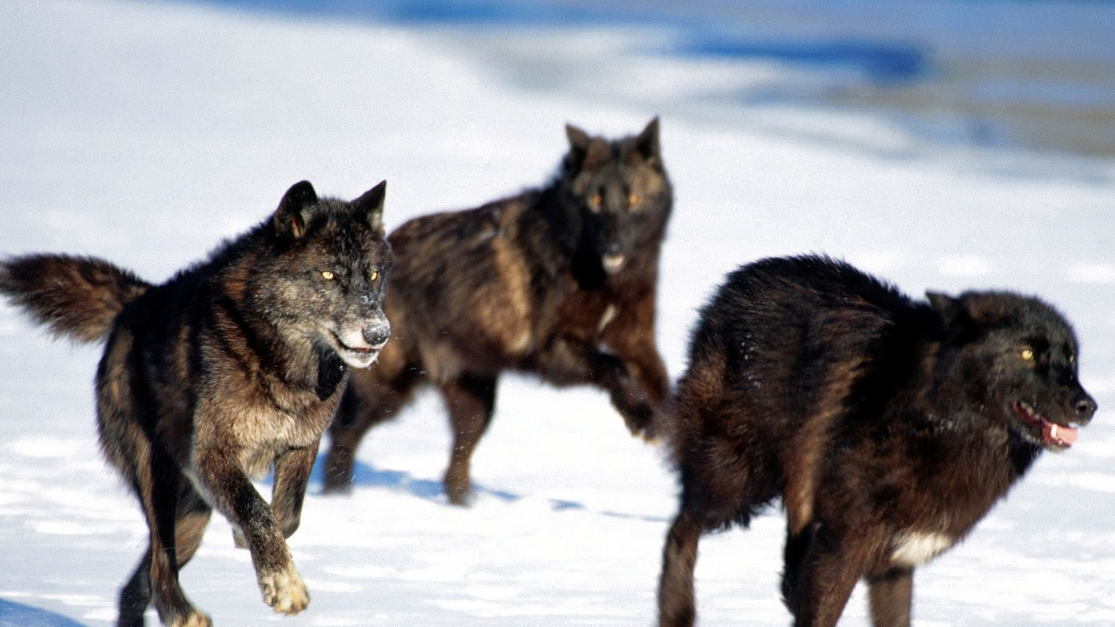 an analysis of the population of wolves in the united states The hunting season is underway in several states, and hundreds of wolves have wyoming's wolf population was estimated news and analysis on everything.