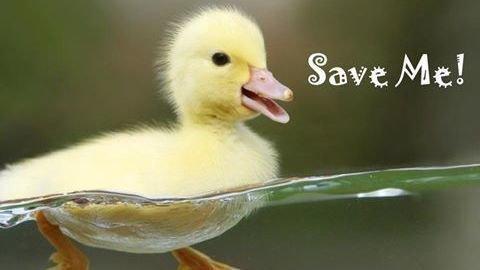purchase cheap 84da9 e943c Petition · Khidmah : Save Al Ghadeer ducks! · Change.org