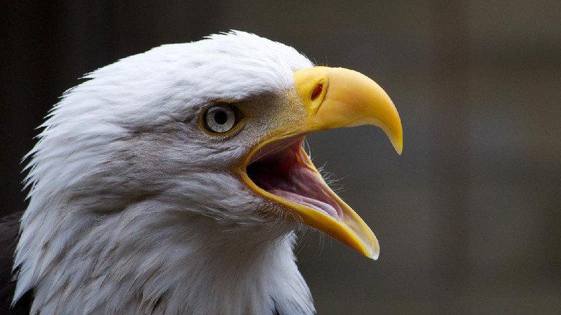 Bald eagle, Change.org