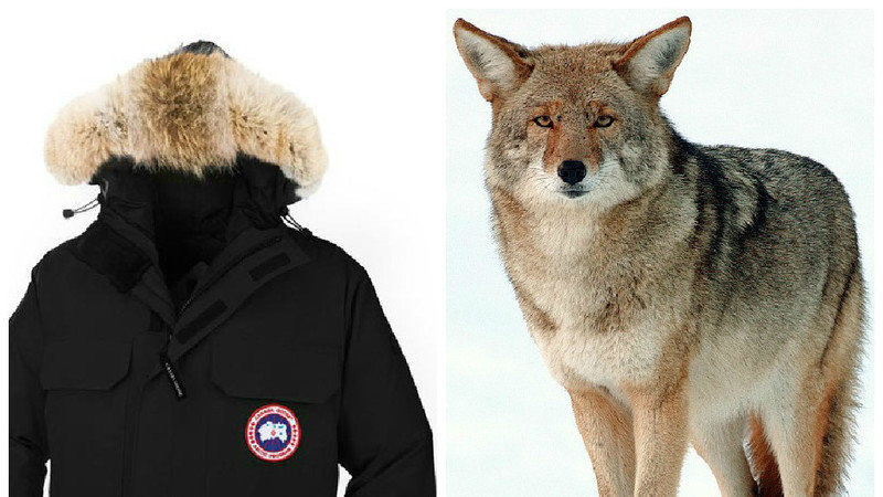 do canada goose use wolf fur