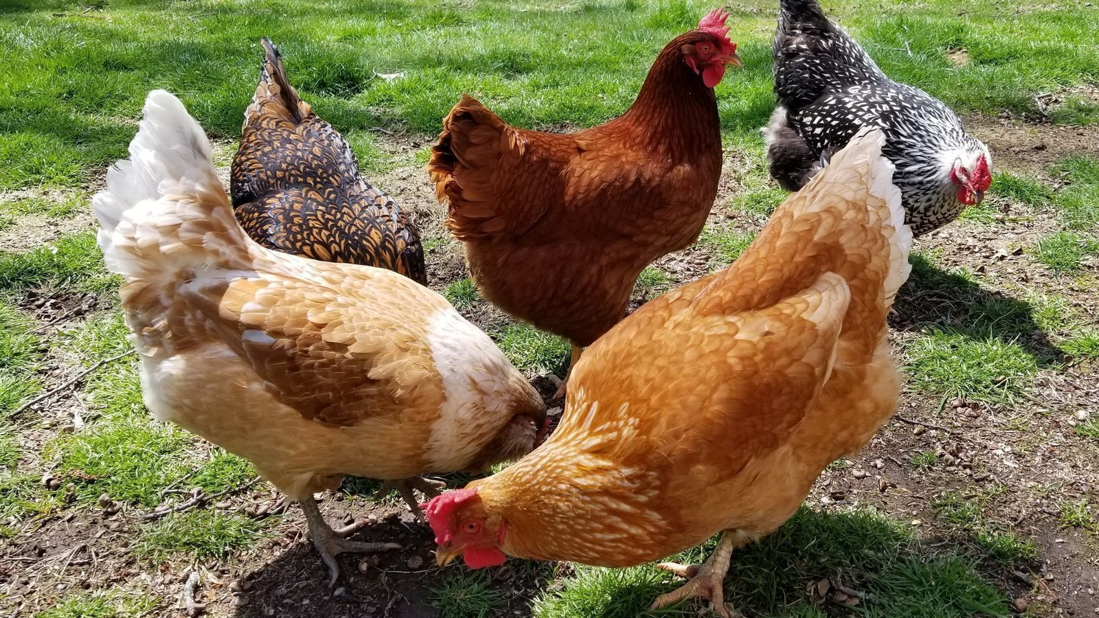 Petition · Support backyard chickens in Berlin, CT ...