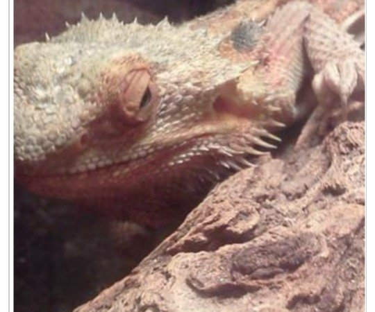 Petition · Sop Selling Sick and Dying Bearded Dragons