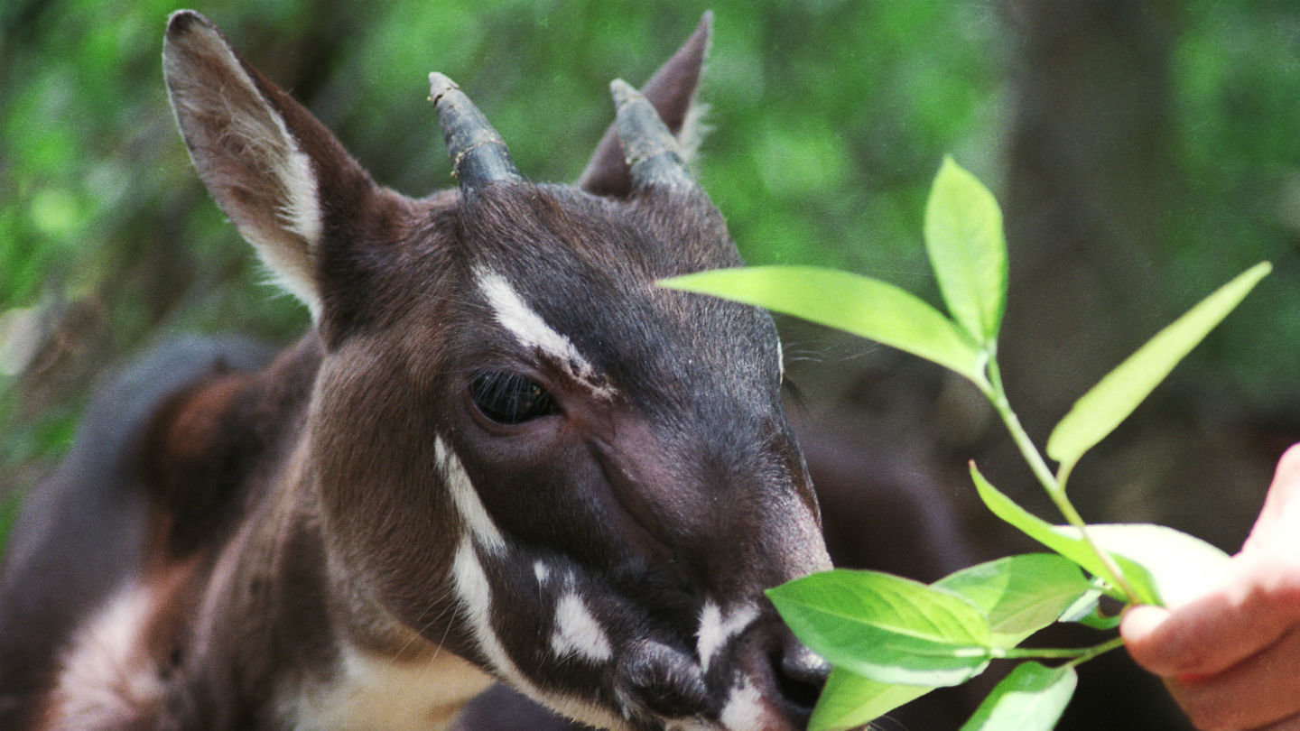 how to save the saola One reason the saola is important is because they are prey to animals like tigers and dholes, and that's important because if the saola go, then some of the saola's.