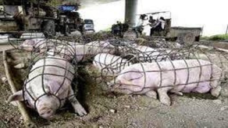 Image result for factory farming abuse
