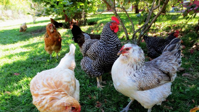 Allow Backyard Chickens With No $200 Fee