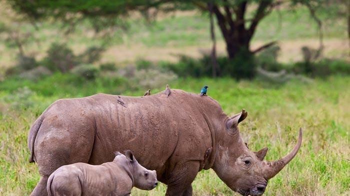 Image result for javan rhino