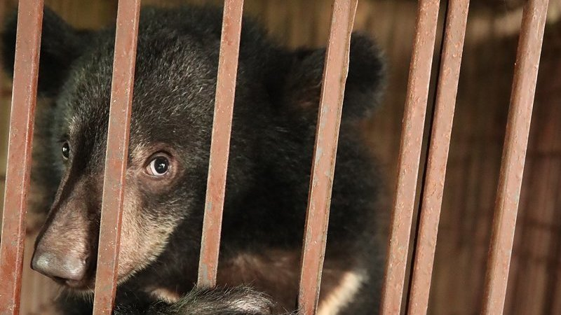 Petition: Fight to Free Boo the Bile Bear Before it's too Late!
