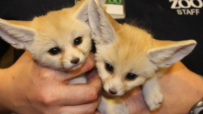 Petition · Make Fennec Foxes Legal to Own as Pets in Washington