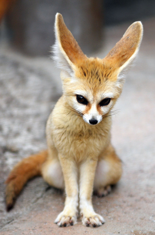 Petition allow ownership of fennec foxes as a household - Pagina da colorare fennec fox ...
