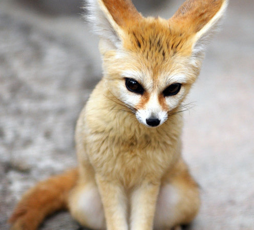 Petition 183 Allow Ownership Of Fennec Foxes As A Household