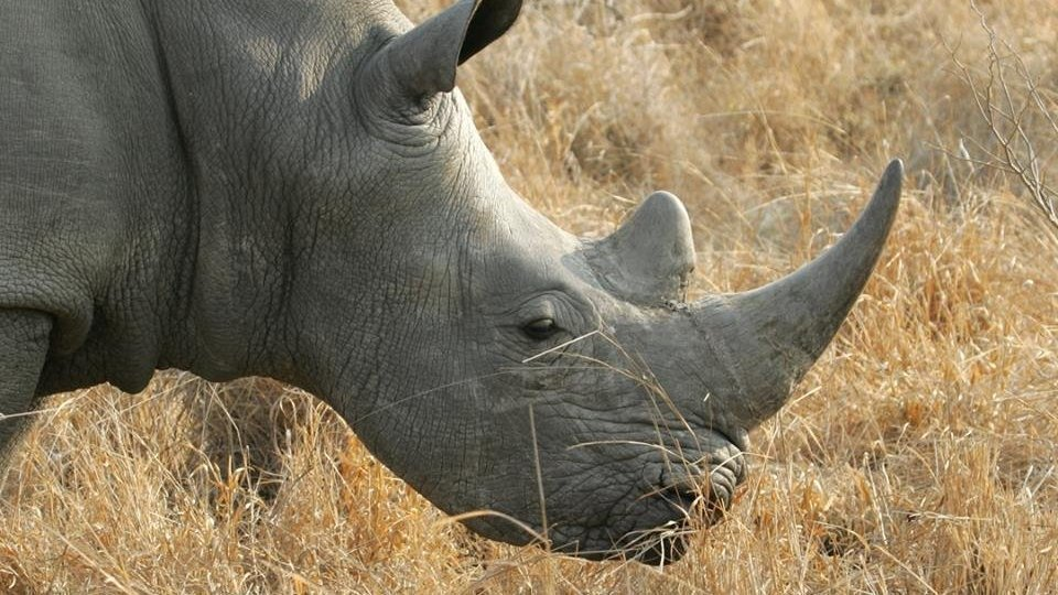 Outlaw the sale of Rhino horn pill in the USA and the World