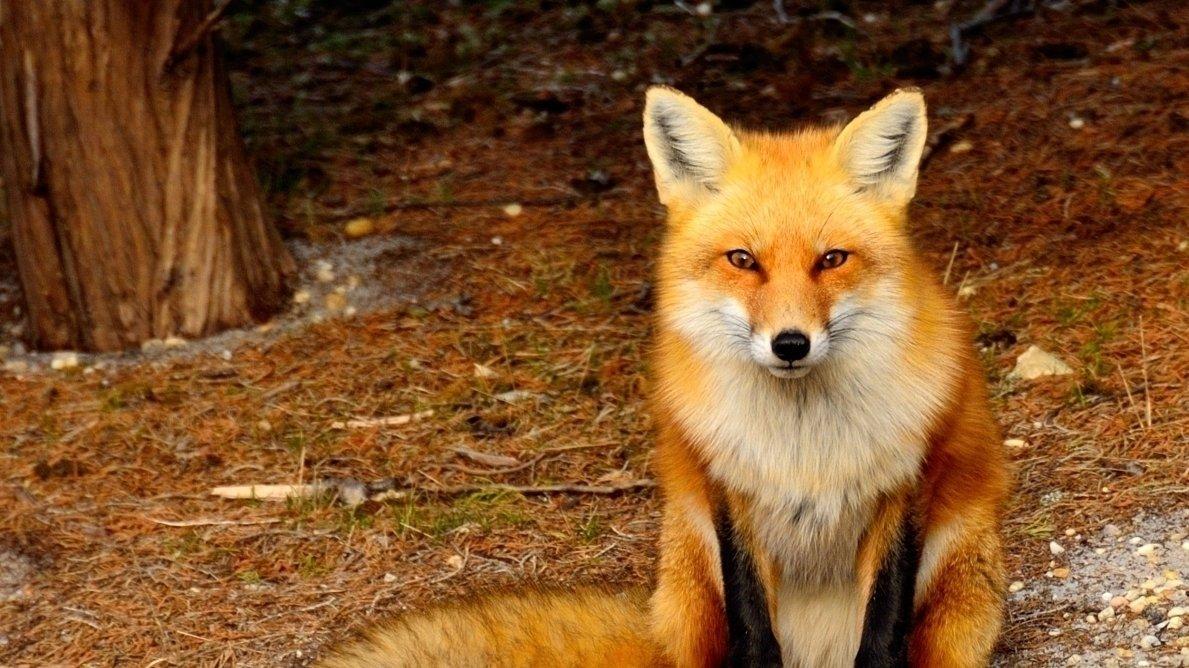 Hinti fox xxx gallery