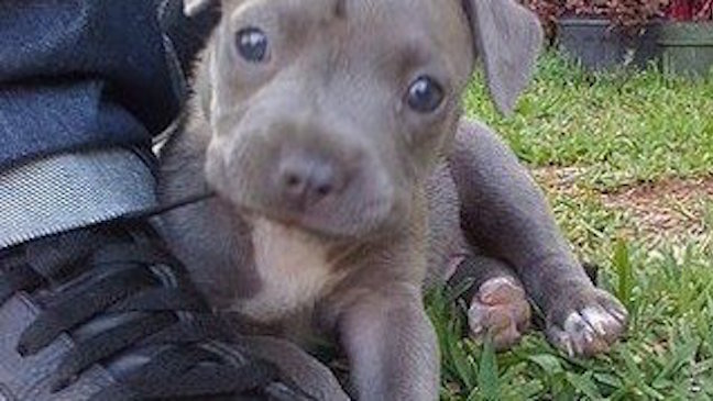 stop the bans on pit bulls The law stopped short of a total ban, at least in the short term, but went some distance in that direction under the law, four breeds (pit bull terriers, american staffordshire terriers.