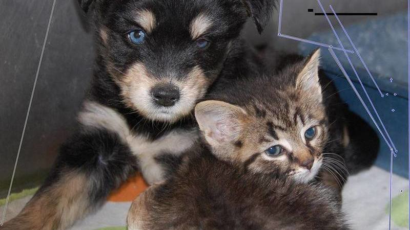 Kittens For Sale Near Me Craigslist - petfinder