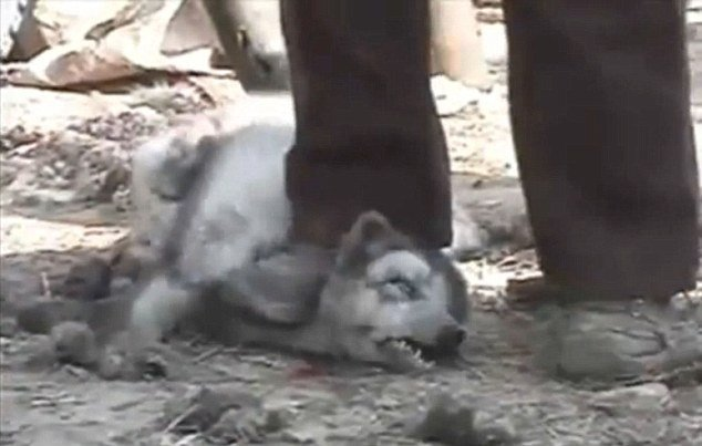 Petition 183 Stop Killing The Raccoon Dogs For Fake Uggs