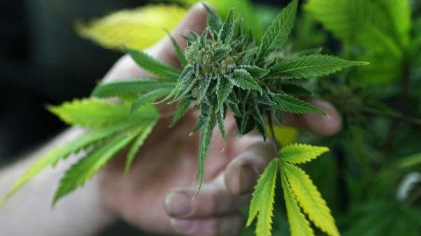 Можно ли в рф употреблять марихуану