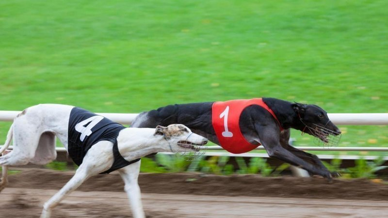 Irish greyhound derby betting 2021 corvette first canadian place horse betting