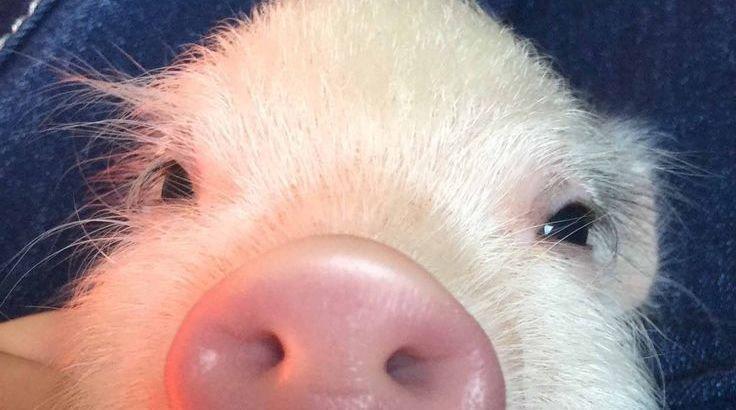 scientific name of pig