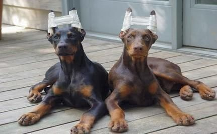 Cropping A Dog S Ears Ages