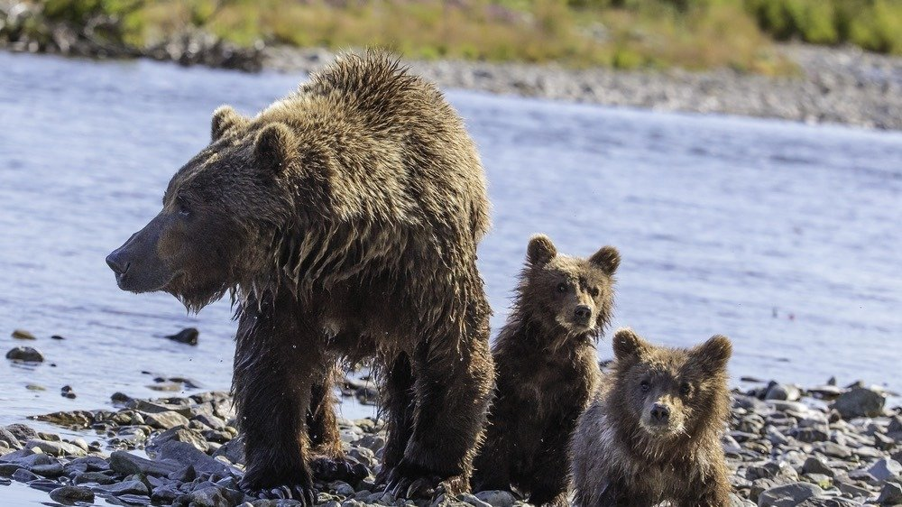 Petition united states senate stop the hunting of for Did congress approve killing hibernating bears