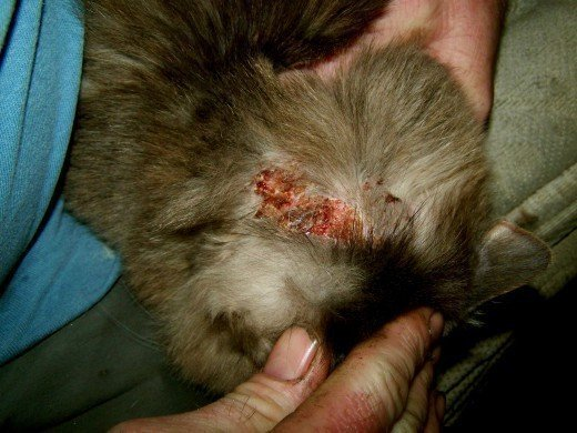 Flea Medication Cats Chemical Burns