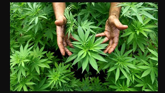 Конопля оон культивирование марихуаны закон
