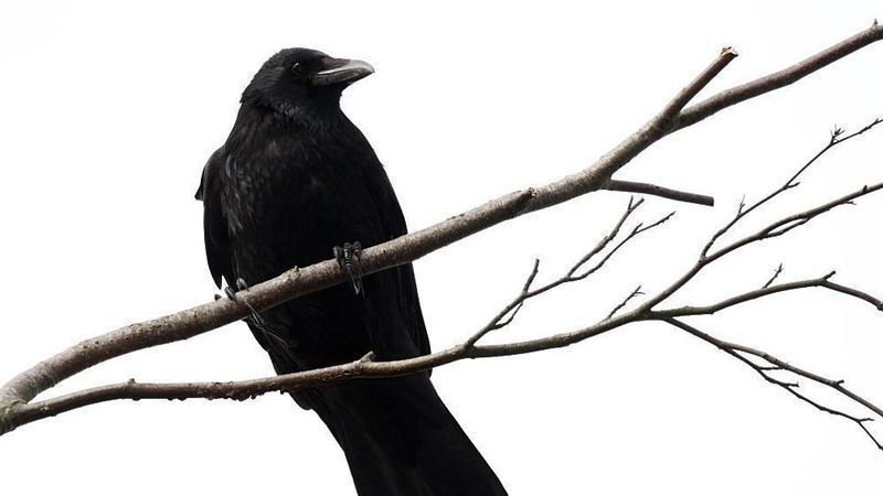 Annual Crow Shooting Event